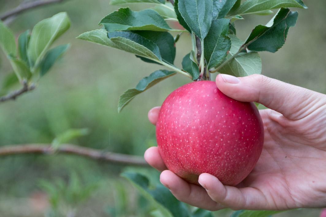 apfelbaum südtirol
