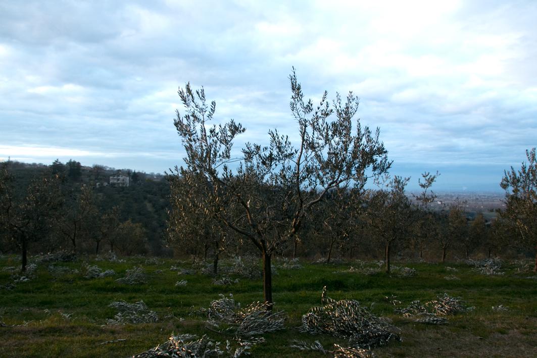 olivenbaum umbrien