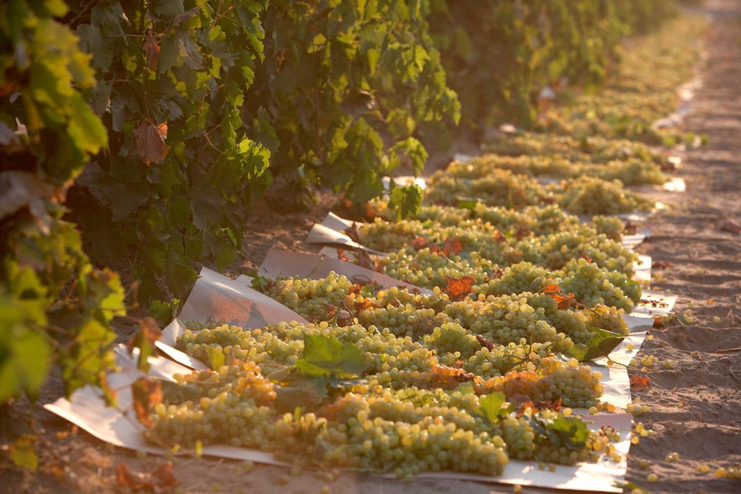 kalifornische-rosinen-bodentrocknung