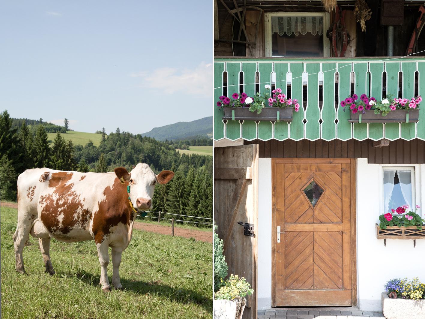 Schwarzwald Kühe