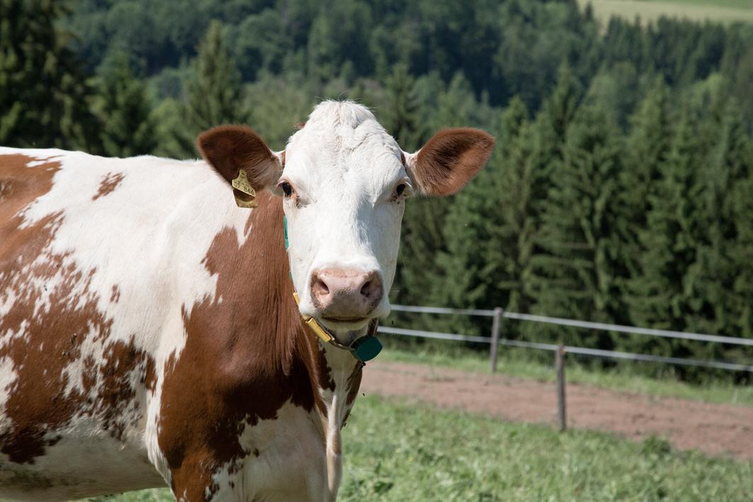 Milchkuh im Schwarzwald