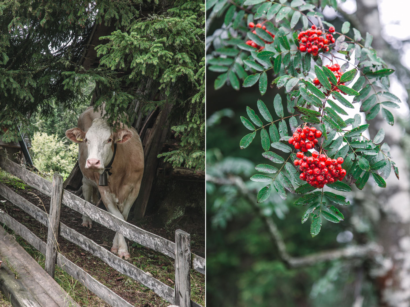 Südtiroler Kühe